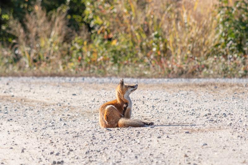 Bombay Hook National Wildlife Refuge Fox on Gravel Road