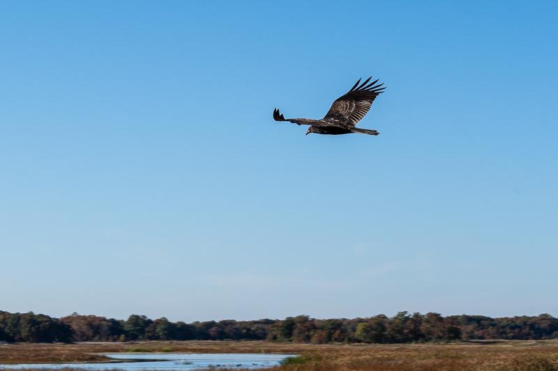 Bombay Hook National Wildlife Refuge Soaring Bird