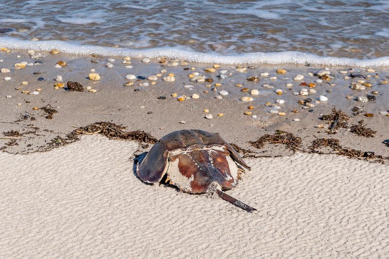 Pickering Beach Delaware Horseshoe Crab