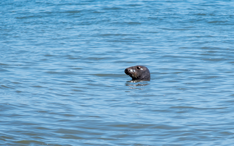 Block Island Seal Spotting