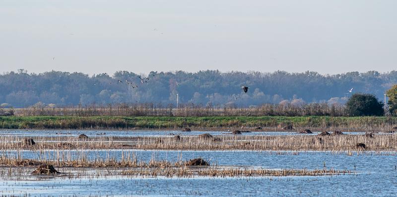 Montezuma National Wildlife Refuge Bald Eagle Flying